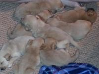 Beautiful  Loveable AKC Golden Retriever Puppies
