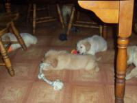 I have a gorgeous litter of Golden Retriever pups. They