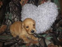 Born July 4, 2013 adorable AKC Golden Retriever puppies
