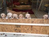 Stunning AKC golden retrievers born 9/25/14, prepared