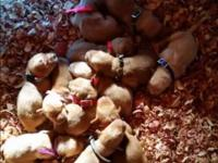 AKC Golden infants. Will be ready for christmas!
