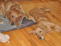 Purebred Golden Retriever (2 red mothers) bred with an