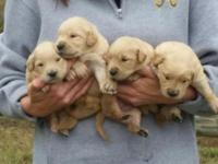 We have a precious litter of Golden Retriever babies.