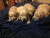 Female and male purebred golden retriever young