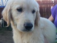 AKC Golden Retriever Puppies, born 3/25/15 ready for