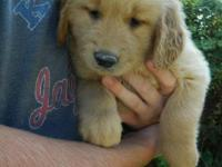 We have six beautiful and well-socialized male golden