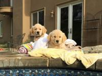 I have 3 deposit spots available for male AKC Golden