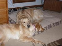 AKC Registered Golden Retriever Puppies They are part