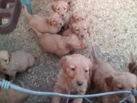 AKC Golden Retriever puppies, 1st shots, dewormed,
