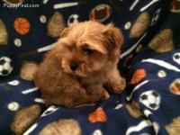 2 yorkie male puppies 9 weeks old with AKC registration