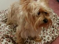 young adult yorkie male 2 years old, healthy, good