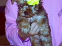 I have Two really cute golden Parti provider Yorkie