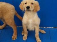 AKC Male Golden Retriever male puppy for adoption. 4