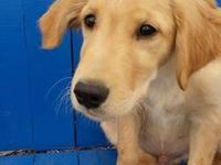AKC Guy Golden Retriever Puppy available for adoption.