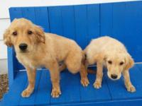 "AKC Purebred Golden Retriever puppy available ""Mr. Dark"
