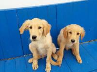 AKC male golden Retriever puppy readily available for