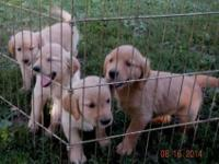I have 5 handsome male puppies and 4 gorgeous females