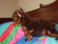 AKC chocolate female Yorkie pup available, shots and