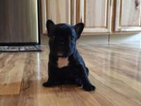 We have a brindle male French bulldog, he has been