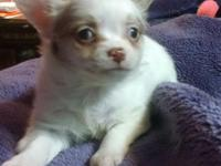 AKC LONG HAIR CHIHUAHUAS PUPPIES READY TO GO.. I have 2