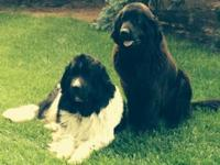 our akc registered newfoundland puppies are 9 weeks