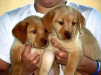 Beautiful,red fox labrador puppies. Gorgeous, smart,