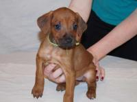 www.LegacyRidgebacks.com ****One beautiful female puppy