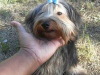 I have a gorgeous 1 year old Yorkie boy available. He