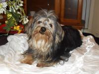 I have a gorgeous and sweet male Yorkie available. He