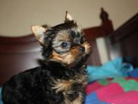 AKC tiny male yorkie puppy available, shots and wormed,