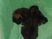 AKC GR CH grandsired pomeranian puppies,one male & one