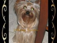 Yorkshire Terrier (Yorkie) Female was born on