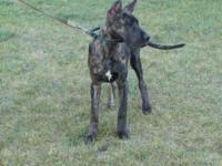 Beautiful brindle girl that has been raised in our home