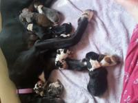 Akc terrific dane new puppies will be ready for their