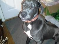 Akc Male Blue Great Dane 10 months old. Very sweet and