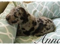 I have five female great dane puppies available. They