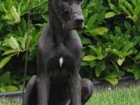 I am rehoming my Great Dane. He is the sweetest boy! He