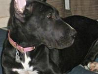 Full Akc female Great Dane black with white markings.