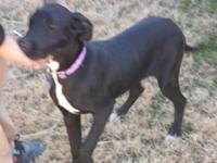 Leia is a beautiful black AKC registered Great Dane