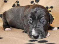 AKC GREAT DANE kid with white markings. Ready to go