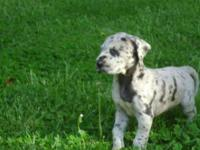 AKC Female great dane female 8 months old very sweet