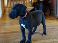 """Stormy"" is a 13 weeks old, pick of the litter female,"