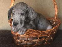 I have three female great danes ready to find their new