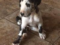 AKC beautiful harly female...she is 8 wks and ready to
