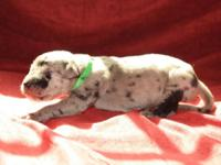 Gorgeous Great Dane Merle Male Puppies born 9/11/14.
