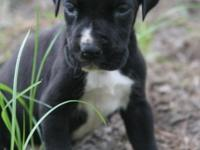 AKC European Excalibur line Great Dane puppy available