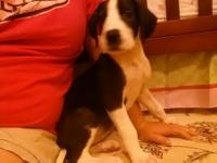 I have a beautiful akc great dane female she is a
