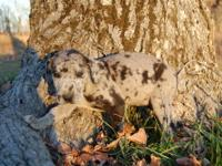 We have nine Great Dane puppies for sale. Father is 1/2