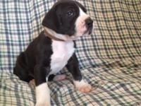 I have 5 AKC registered Terrific Dane puppies that are