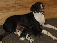 We have two brand new litters of AKC registered Great